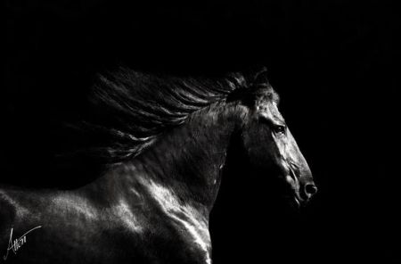 Black And White Horses Wallpaper Friesian Black White