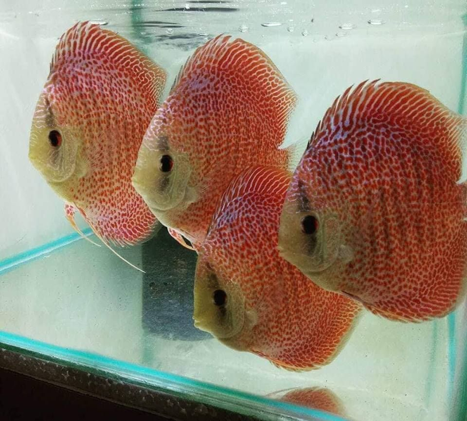 Photo Gallery Of Discus Fish Live Tropical Fish Live Tropical Fish Discus Fish Fish Tropical Freshwater Fish
