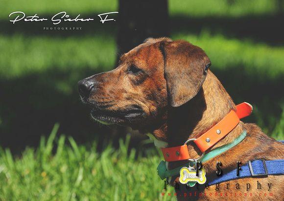 Rocco American Bulldog / Dachshund AKA Destroyer Photo by Peter Sieber Franco