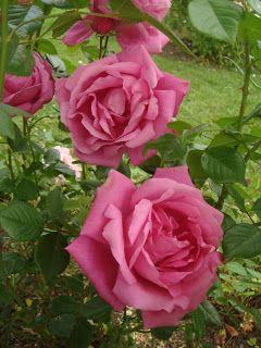Hybrid Wichurana Climbing Rose: Rosa ´American Beauty, Cl.' AKA 'Wrams Gunnarstorp' (U.S., 1909)