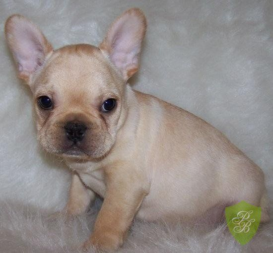 Puppies For Sale Virginia French Bulldog Breeders French