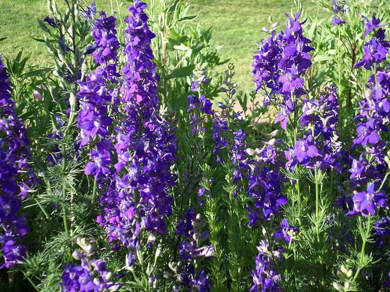 Seven Things You Need To Know About Annual Delphinium In 2020 July Birth Flower Delphinium Flowers Birth Flowers