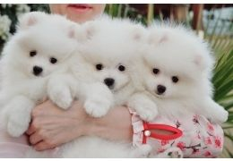 Lovely male and female Teacup Pomeranian Puppies Available for sale FOR SALE ADOPTION from New South Wales @ Adpost.com Classifieds > Australia > #188673 Lovely male and female Teacup Pomeranian Puppies Available for sale FOR SALE ADOPTION from New South Wales ,free,australian,classified ad,classified ads