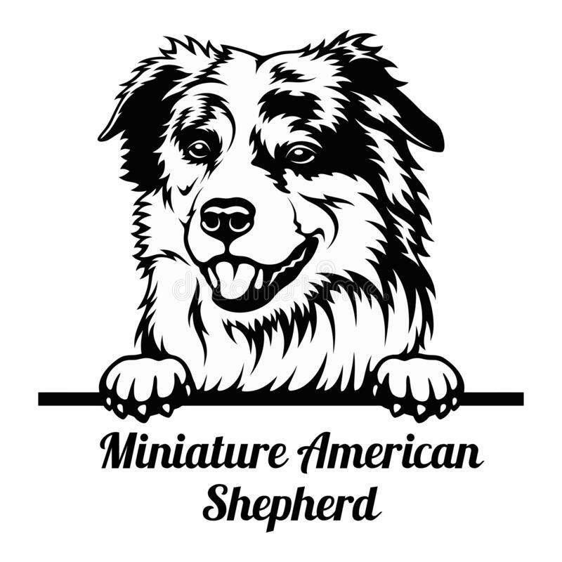 Peeking Dog - Miniature American Shepherd Breed -