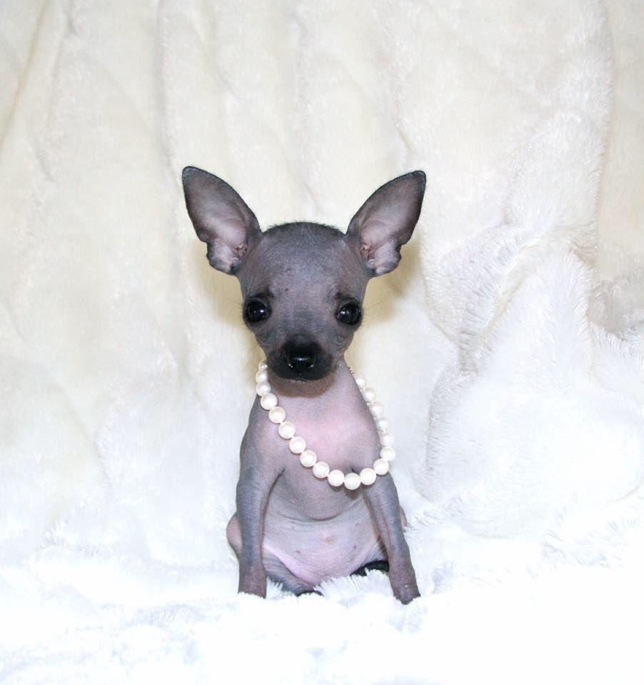 Hairless Chihuahua Chihuahua Puppies Chihuahua Cute Baby Animals