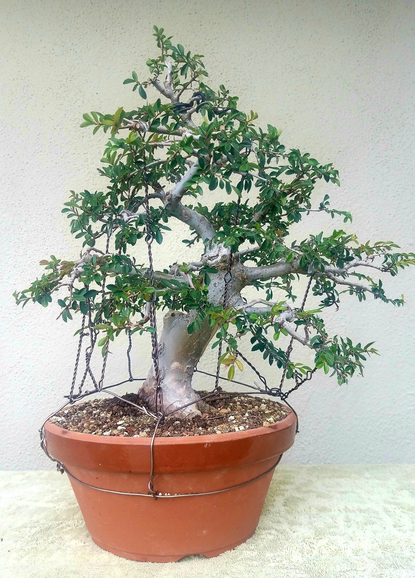 picture 5 i did some pruning and wiring on my chinese elm pre rh pinterest co uk Bonsai Shapes Bonsai Copper Wire