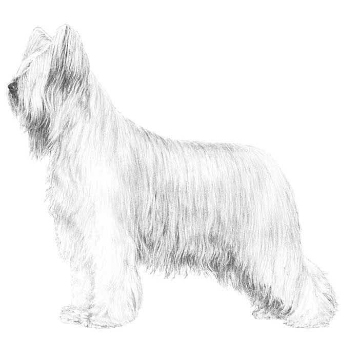 Briard Dog Breed Information Dog Breeds Dog Illustration Dogs