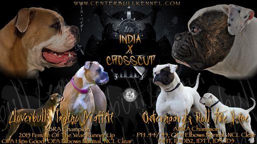 American Bulldog Puppy For Sale In Centerburg Oh Adn 32831 On
