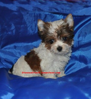 Teacup Parti Yorkie For Sale In Bentonville Arkansas Teacup Yorkie For Sale Yorkie Teacup Yorkie