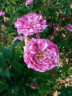 Rosa 'Panachée a Fleurs Double' (France, 1839)