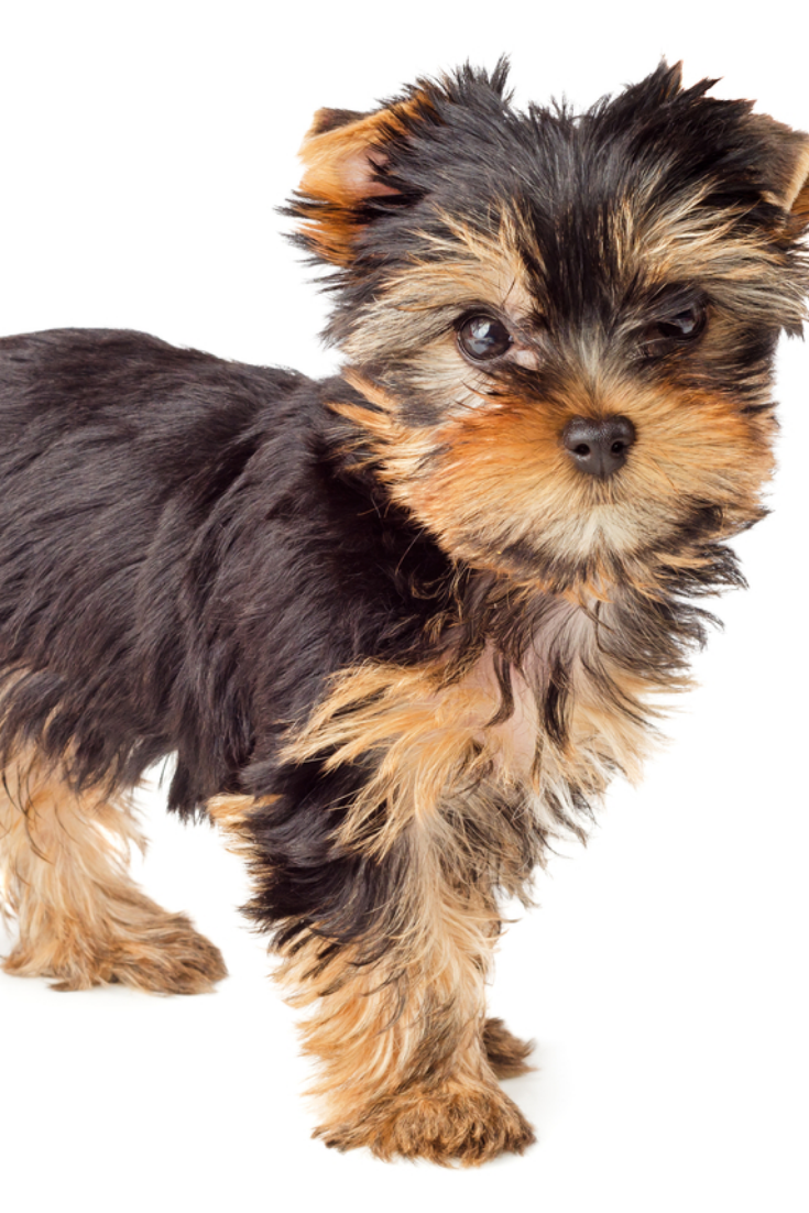 Yorkshire Terrier Puppy Standing 2 Months Old Isolated On White Background Yorkshireterrier Yorkshire Terrier Yorkshire Terrier Puppies Terrier
