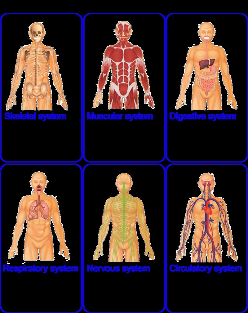 Organization of the Human Body | CK-12 Foundation | SR A/P 1 ...