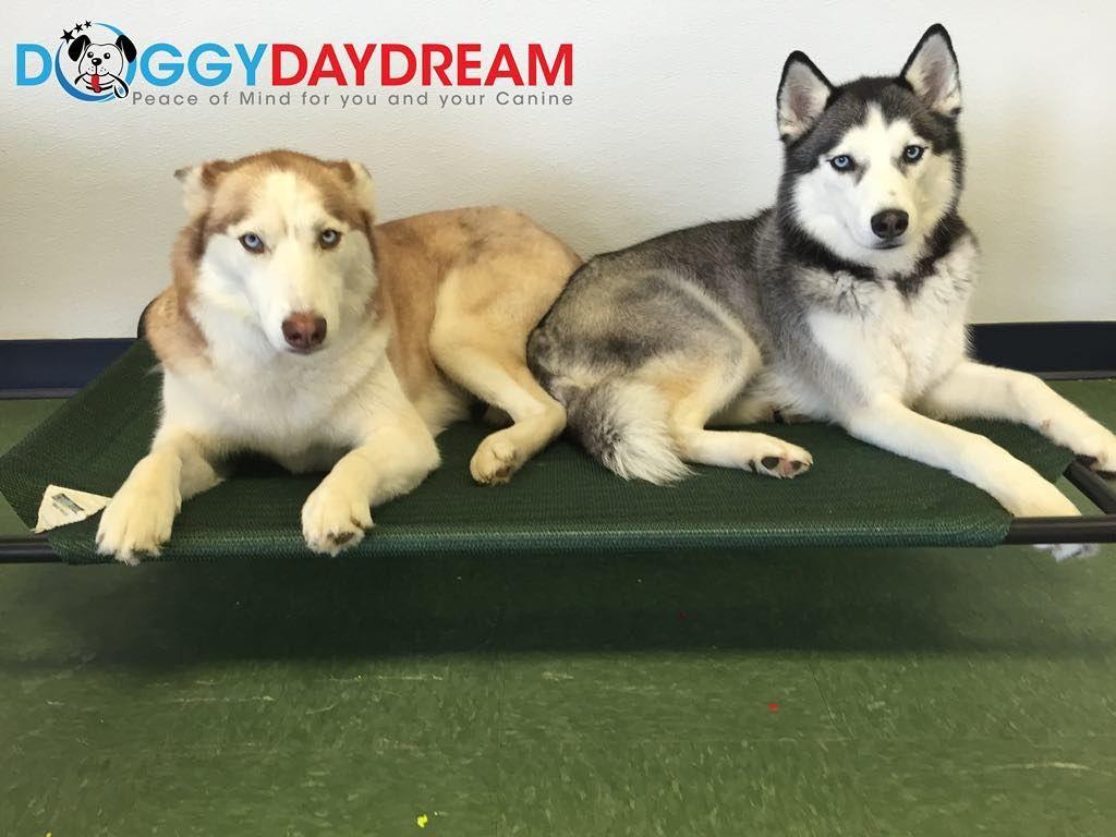 Huskies make great friends. #husky #huskynation #siberianhusky #doggydaydream #doggydaycare #dogs #dogsofinstagram #dogstagram #instadog #huskiesofinstagram