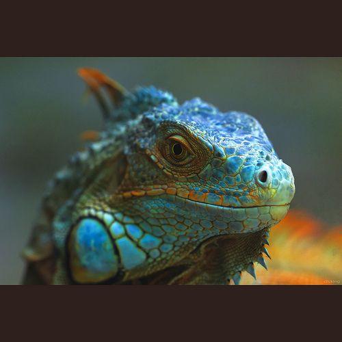 Amazing Colorful Chamilions: Amazing Turquoise Iguana ESMALTADA ESMERALDA ECUADOR