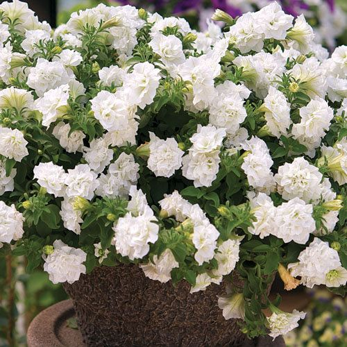Double White Petunia Improved With Images Petunia Plant