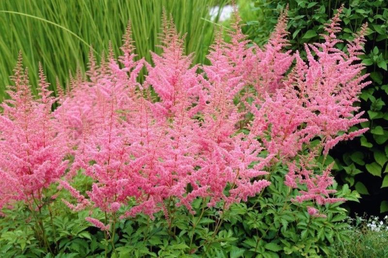 163 Beautiful Types Of Flowers A To Z With Pictures Astilbe Flower Astilbe Arendsii Astilbe