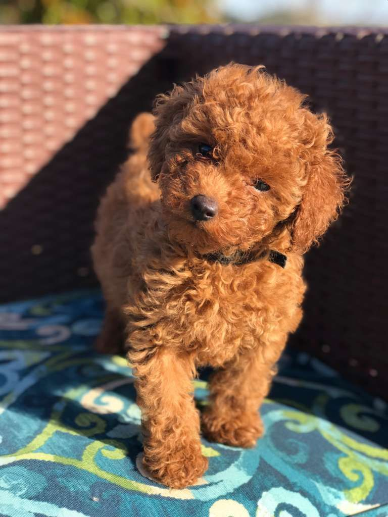 Red Head Heaven Poodles Toy Poodle Breeders In Southern California In 2020