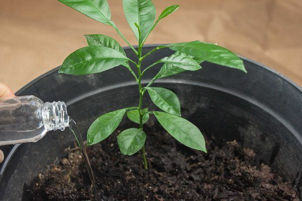 How To Grow An Orange Tree From Seed Hunker Growing Flowers Growing Fruit Trees Orange Tree