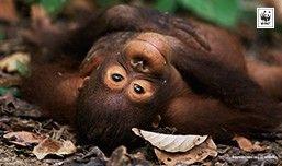 © naturepl.com / Neil Lucas / WWF