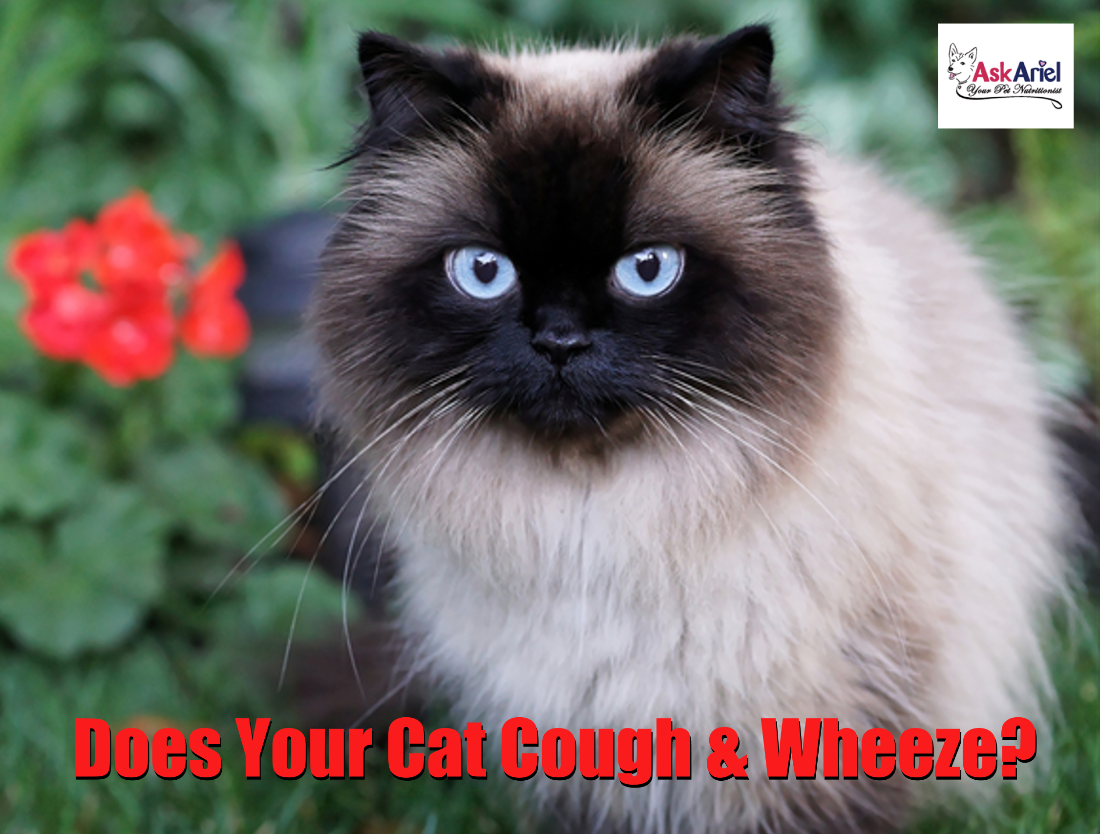 Is Your Cat Coughing And Wheezing Cough Cat Asthma Cats