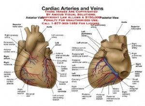Vessels of the heart diagram electrical wiring diagram coronary artery diagram of the heart anatomy and physiology rh pinterest com major blood vessels of the heart diagram major vessels of the heart diagram ccuart Gallery