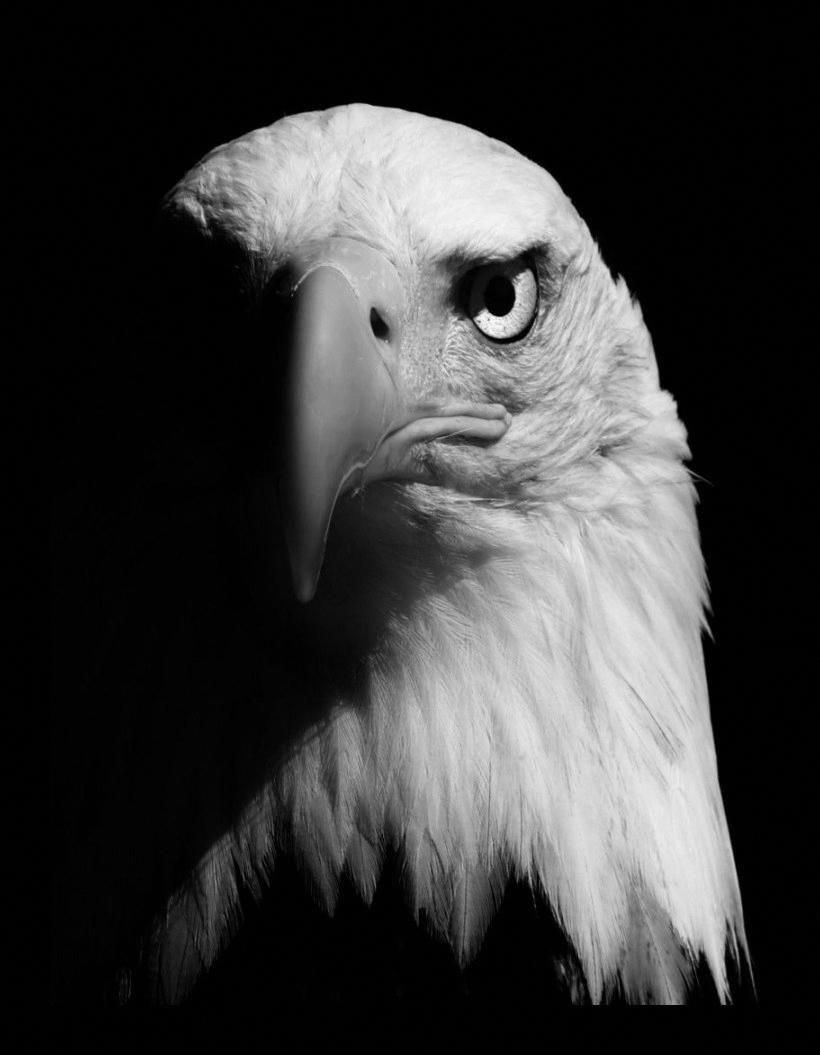 Pin By Mudskipperfan On Eagles Animals Black And White Pet Birds Animal Photography Eagle black and white hd wallpaper