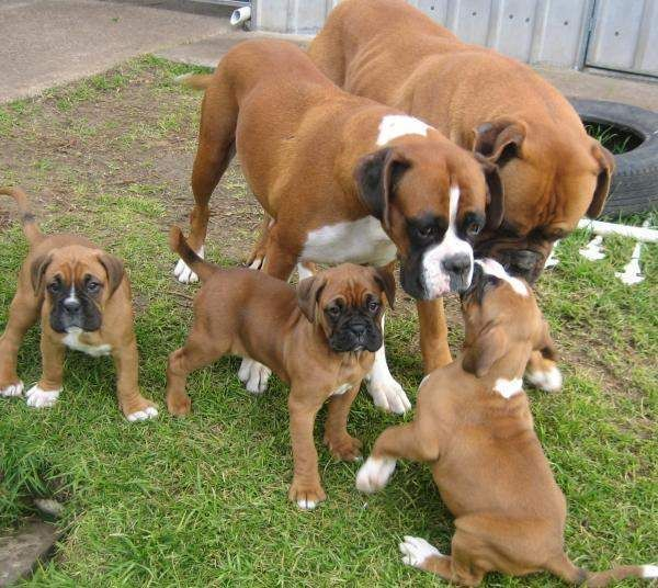 Sire Dam Boxer Puppy Litter American Bully And Bulldog