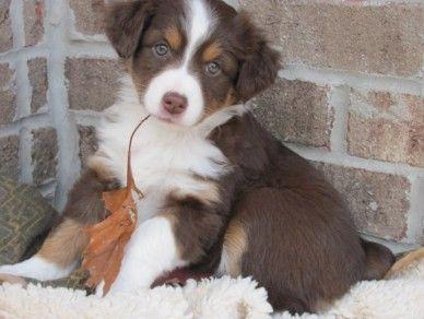Mini Aussie Puppy I Have Puppy Fever Perros Mascotas