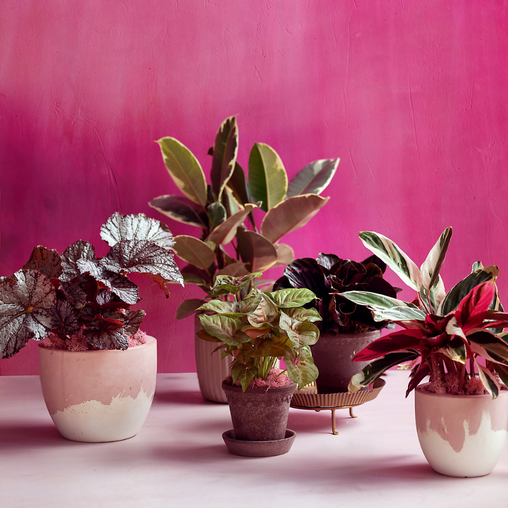 You probably know the Ficus Tineke as a variegated rubber