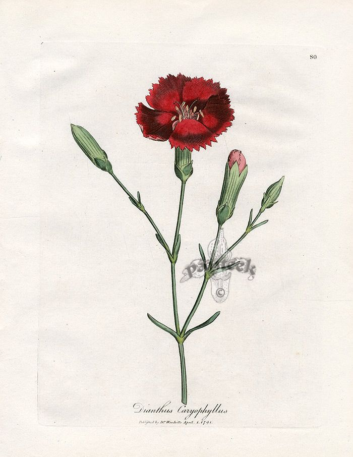 Woodville Medical Botany Clove Pink Dianthus Illustration By James Sowerby 1790 1795 In 2020 Botanical Drawings Flower Drawing Botanical Painting