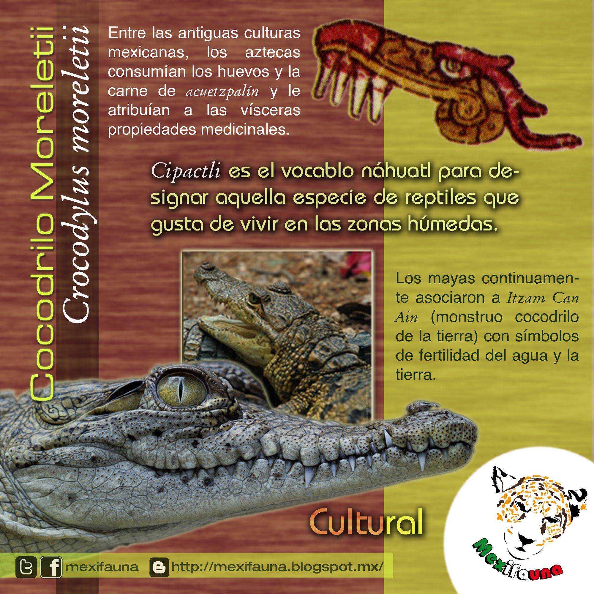 Pin de Mexifauna en Cocodrilo Moreletii   Pinterest   Cocodrilos