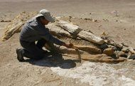 Peru geologists strive to preserve whale cemetery - (An archeologist is seen cleaning the fossilized jaw of a whale in the Ocucaje desert, 310 km south of Lima. Once submerged but now situated some 30 kilometers from the shore, the area has been shaken by volcanic eruptions, killing off all life forms, according to experts from the country's geology and mining institute Ingemmet. (AFP Photo/Geraldo Caso)
