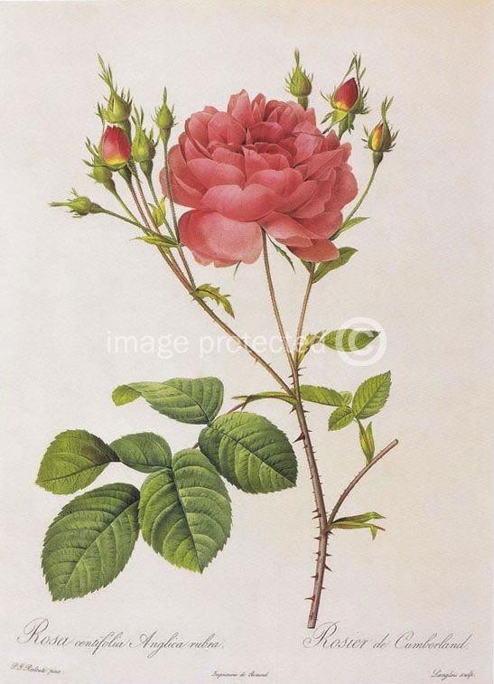 Images Of Cabbage Rose Redoute Vintage Botanical Art Canvas Print Ebay Wallpaper
