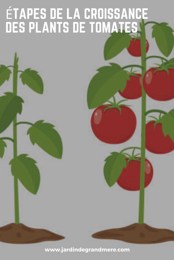 Tomate En Pot Conseil Étapes de la croissance des plants de tomates