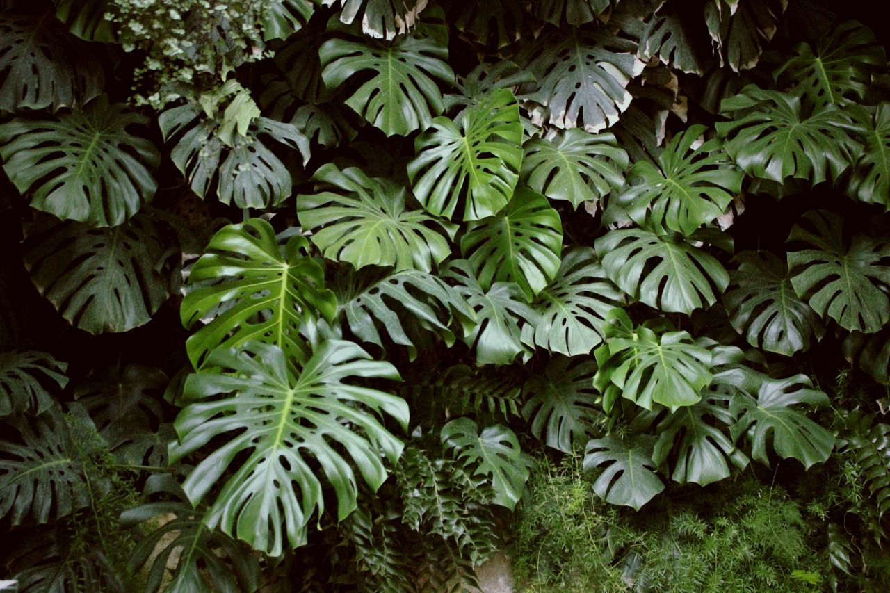 split leaf philodendron aka monstera deliciosa in padova italy via. Black Bedroom Furniture Sets. Home Design Ideas