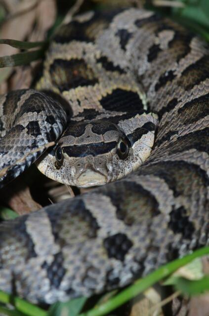 Eastern Hognose Snake Pet Snake Hognose Snake Dream Snake