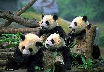 I love Panda's
