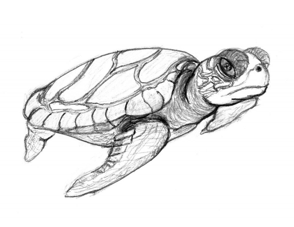 Free Printable Turtle Coloring Pages For Kids | coloring pages ...
