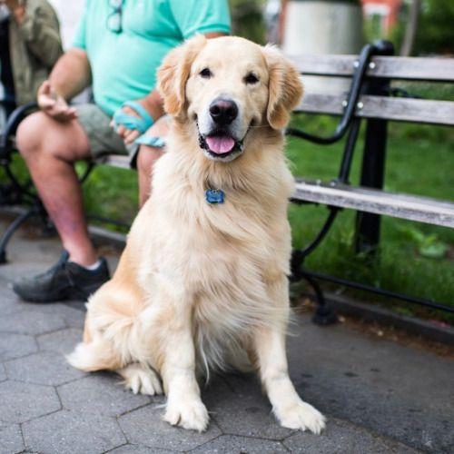 Buddy Golden Retriever 4 Y O Washington Square Park New Golden Retriever Retriever Washington Square Park