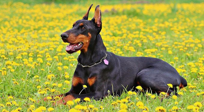 Improve Your Doberman S Skin Coat With This One Simple Hack