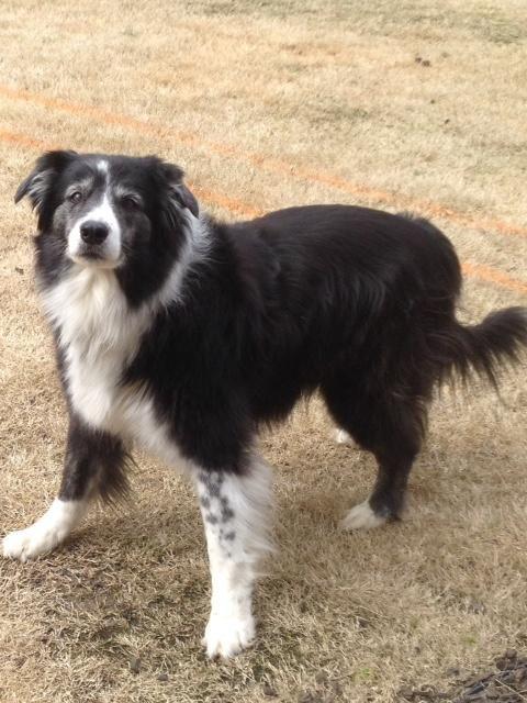 Adopt Mason On Pet Adoption Dogs Border Collie