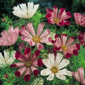 Cosmos Seeds For Sale 32 Varieties Annual Flower Seeds Annual Flowers Cosmos Flowers Flower Seeds