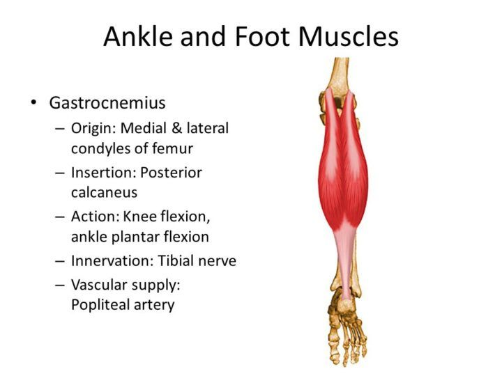 Image result for gastrocnemius origin and insertion | Anatomy ...