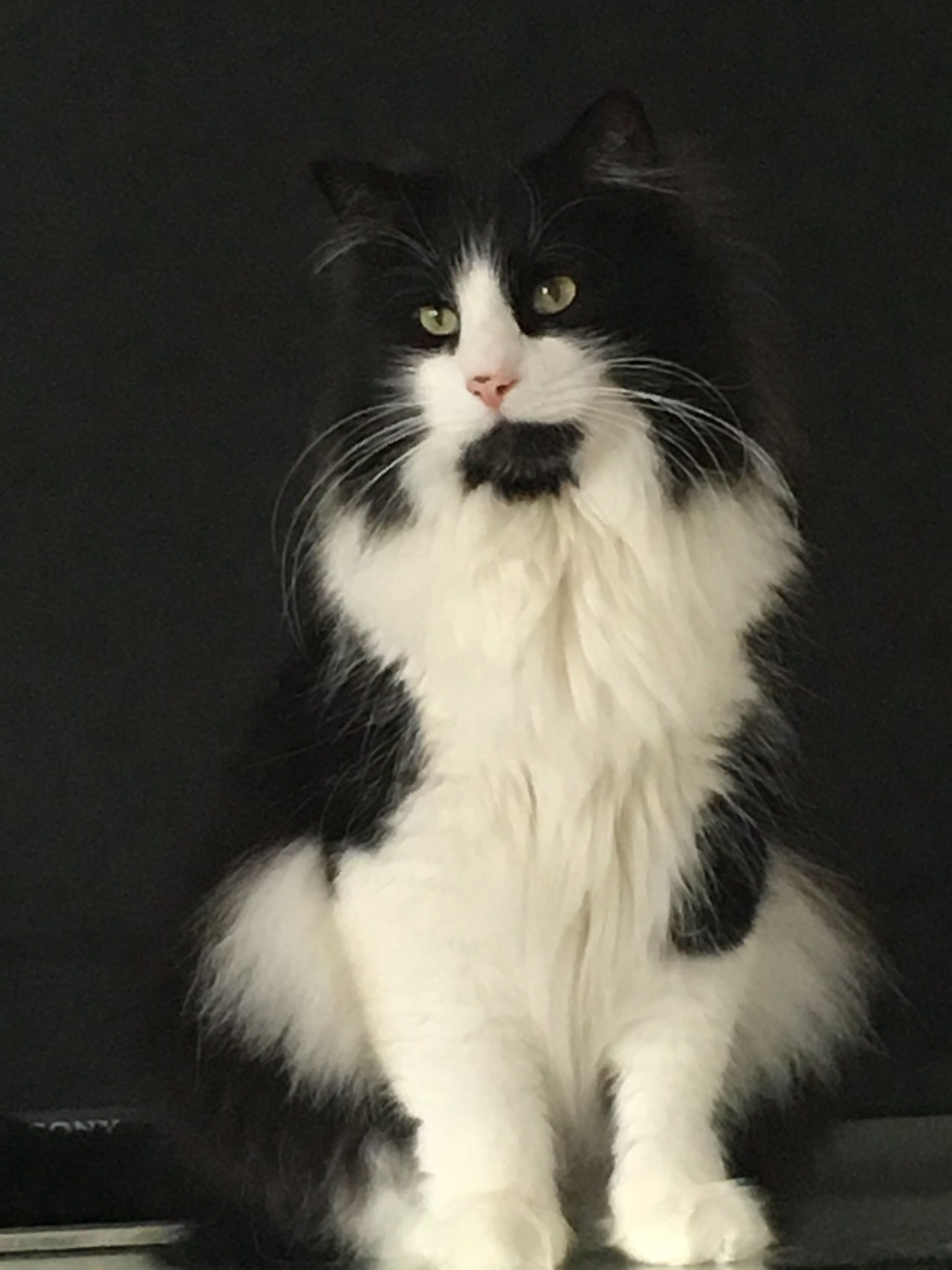 A Beautiful Black And White Cat Norwegian Forest Cat Beautiful Cats White Cats