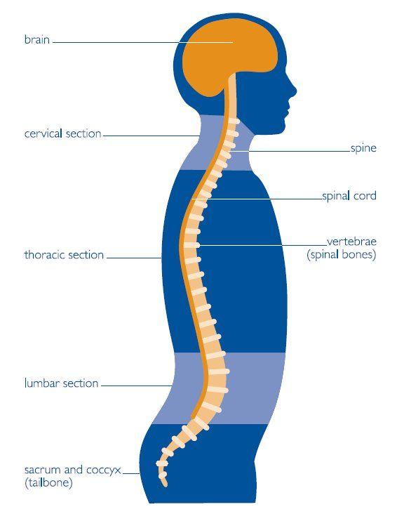 Diagram of the Central Nervous System | Nervous System | Pinterest ...