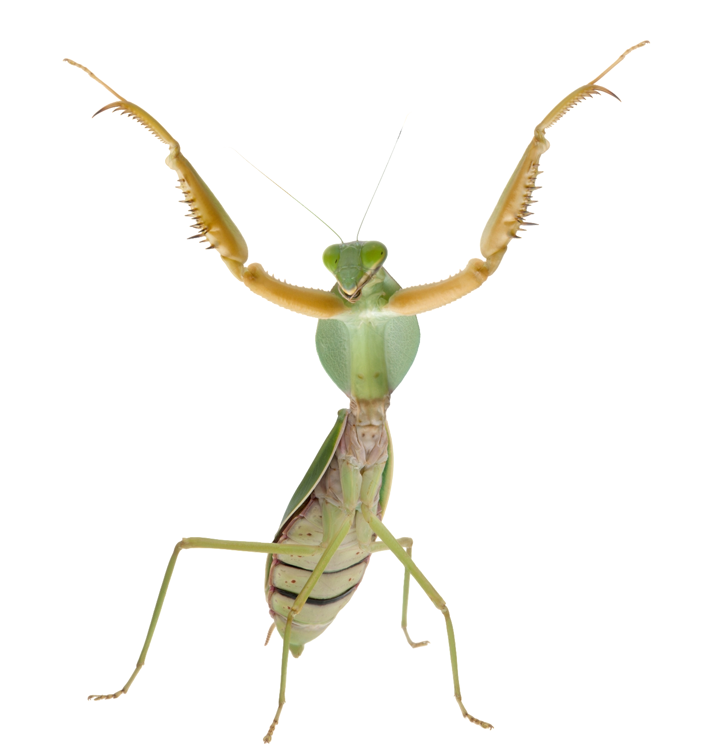 Praying Mantis Standing Up Praying Mantis Stand Up Cutout