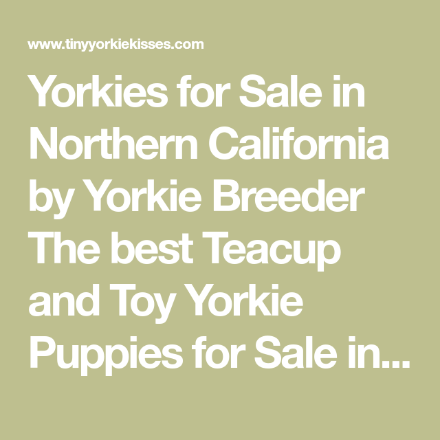Yorkies For Sale In Northern California By Yorkie Breeder The Best Teacup And Toy Yorkie Puppies For Sale I Yorkie Puppy For Sale Yorkie Puppy Puppies For Sale