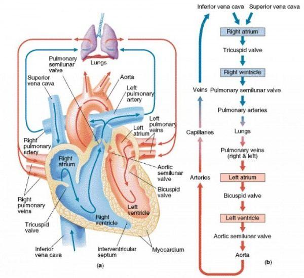 Heart Flow Diagram | Nursing school studying, Nursing ...
