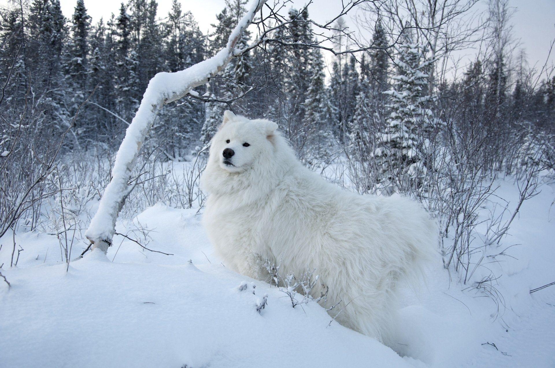 Animal Samoyed Snow Winter Pet Dog Wallpaper Samoyed Dogs