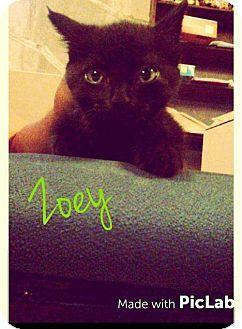 Foristell, MO - Domestic Shorthair. Meet Zoey, a kitten for adoption. http://www.adoptapet.com/pet/15859647-foristell-missouri-kitten